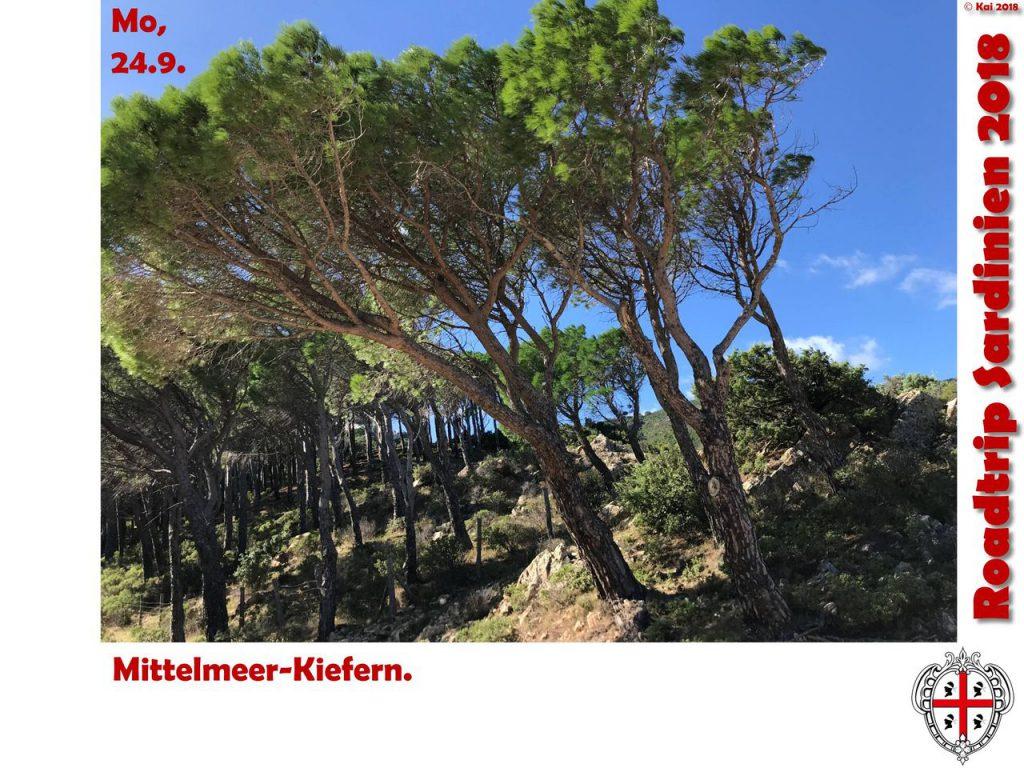 Mittelmeer-Kiefern