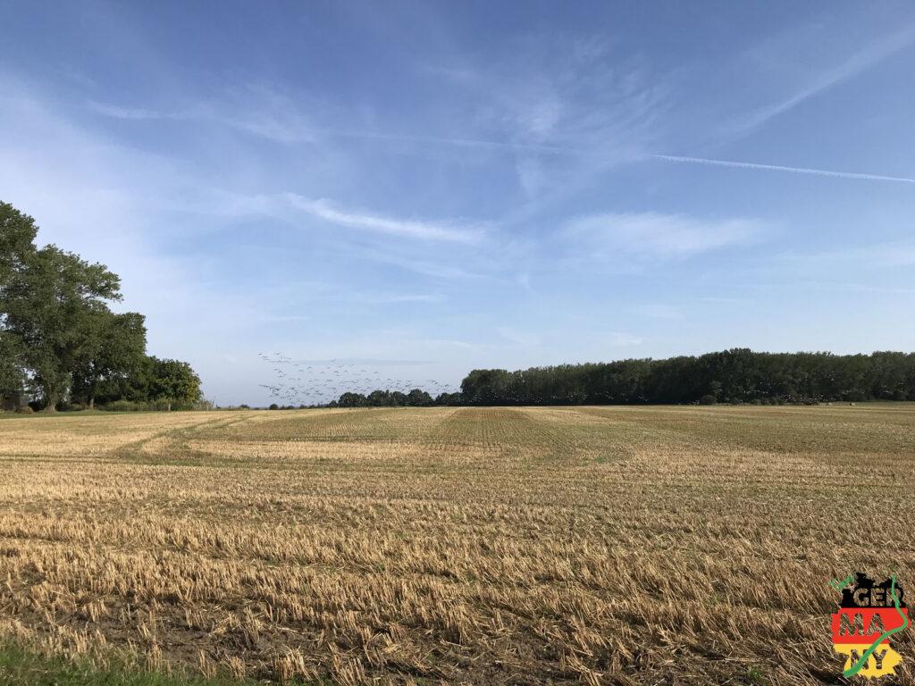 Vogelschwärme über den Feldern.